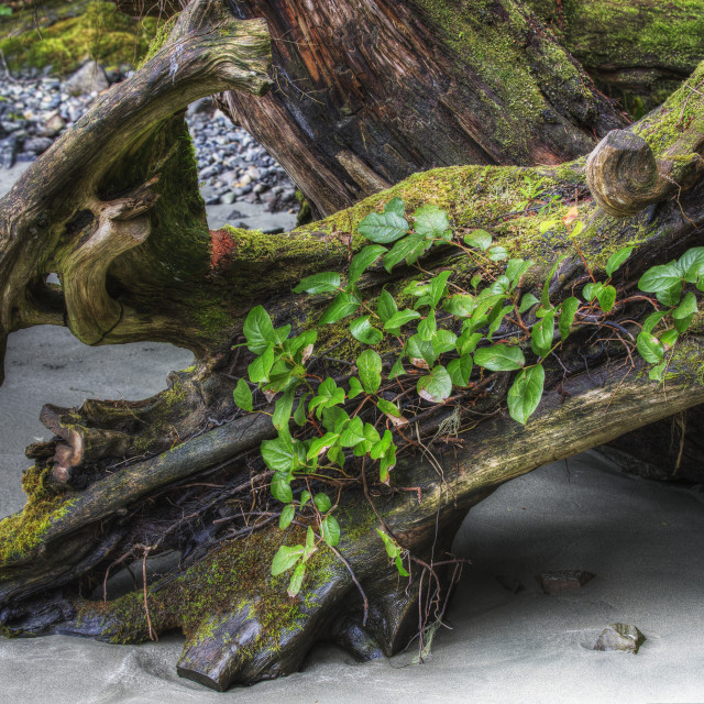 """Driftwood log with new vegetation growing out of it on mackenzie..."" stock image"