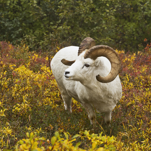 """""""Dall's sheep (ovis dalli) ram looks up from feeding on diamondleaf willow..."""" stock image"""