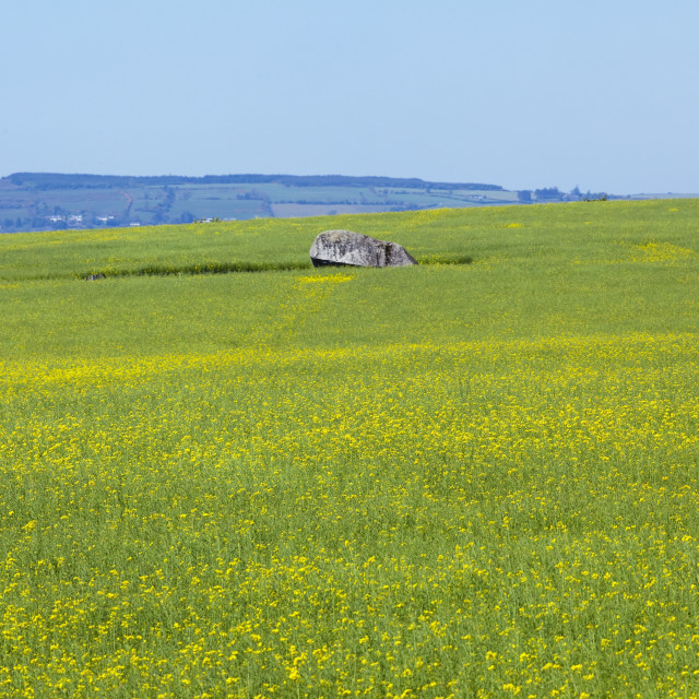 """""""Yellow wildflowers growing in a field with the brownhill dolmen;County..."""" stock image"""