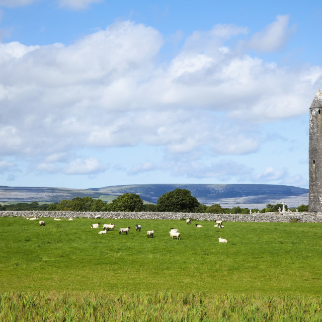 """Sheep grazing in a field by a cemetery and round tower;Kilmacduagh, county..."" stock image"