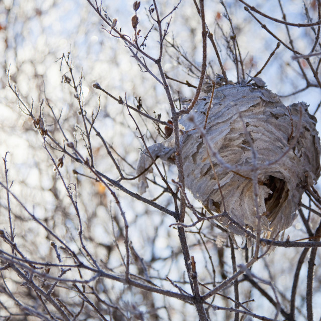 """""""A wasp nest lays dormant in a lilac bush in winter;Parkland county, alberta,..."""" stock image"""
