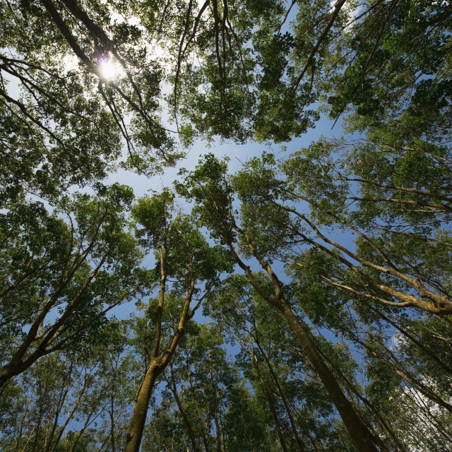 """""""Low angle view of the tops of rubber trees and a blue sky;Phuket thailand"""" stock image"""