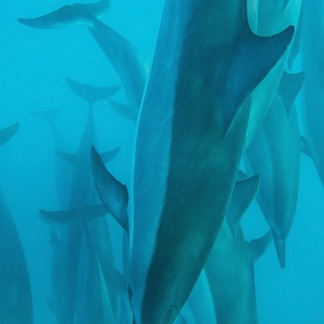 """""""Spinner dolphins (stenella longirostris);Hawaii united states of america"""" stock image"""