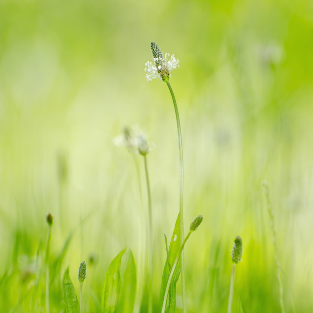 """A flower growing in the grass;Locarno ticino switzerland"" stock image"