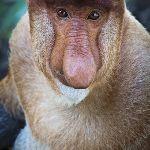 """Proboscis monkey (nasalis larvatus);Borneo"" stock image"
