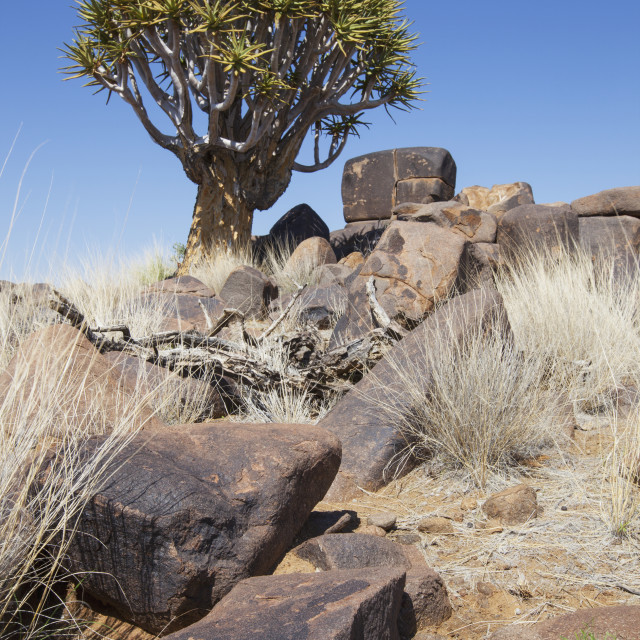 """""""Quiver tree with rocks;Namibia"""" stock image"""