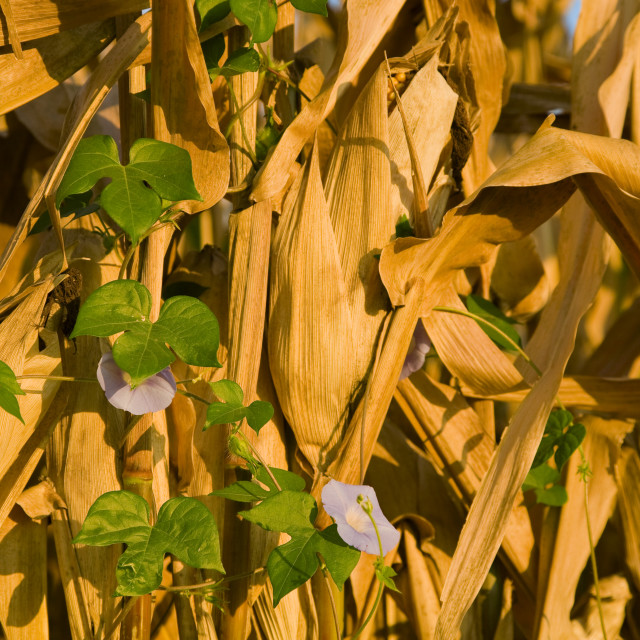 """""""Agriculture - Ivyleaf morningglory (Ipomoea hederacea) growing on a mature..."""" stock image"""