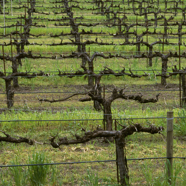 """""""Agriculture - Wine grape vineyard, vines dormant and pruned / Mendocino..."""" stock image"""