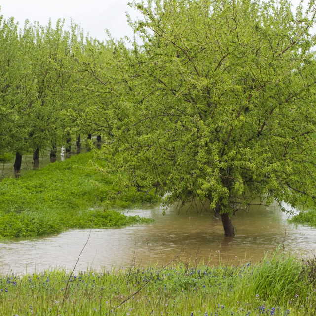 """""""Agriculture - Dormant almond orchard in late winter flooded by excessive rain..."""" stock image"""