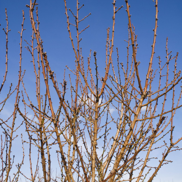 """""""Agriculture - Dormant almond tree branches in mid winter / near Corning,..."""" stock image"""