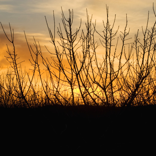 """""""Agriculture - Dormant almond tree branches at sunset in mid winter / near..."""" stock image"""