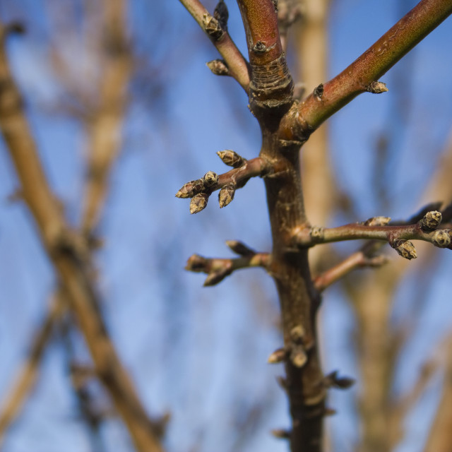"""""""Agriculture - Dormant almond tree branches in mid winter showing healthy buds..."""" stock image"""