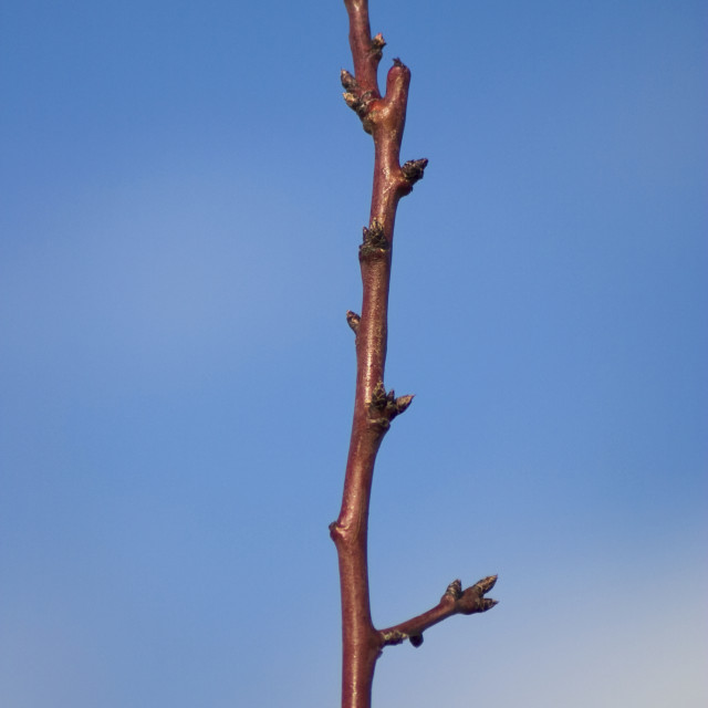"""""""Agriculture - Dormant almond tree branch in mid winter showing healthy buds /..."""" stock image"""