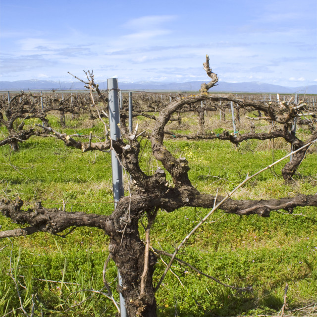 """""""Agriculture - Mature dormant wine grapevine just after being pruned in spring..."""" stock image"""