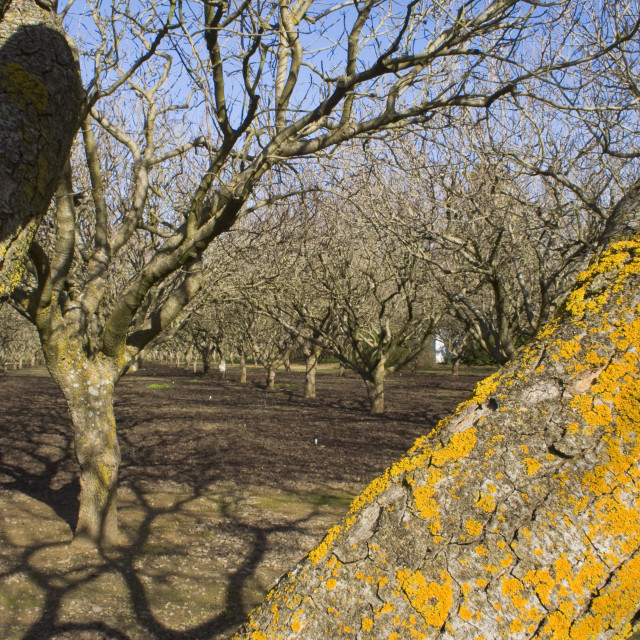 """""""Agriculture - Dormant pistachio orchard in mid winter / near Corning, Tehama..."""" stock image"""