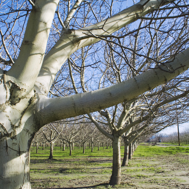 """""""Agriculture - Dormant walnut orchard in early winter / near Corning, Tehama..."""" stock image"""