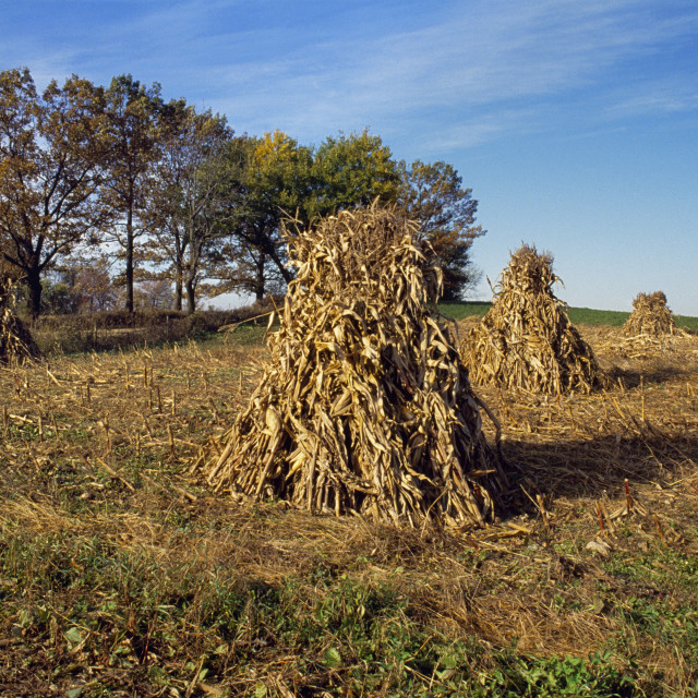 """""""Agriculture - Corn shocks in Autumn field / LaGrange County, Indiana, USA."""" stock image"""