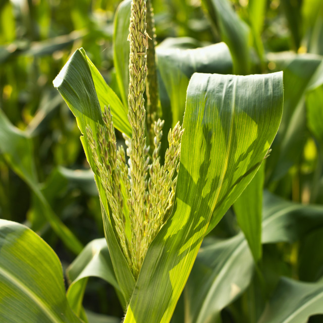 """Agriculture - Maturing tassel of a mid growth sweet corn plant at a local..."" stock image"