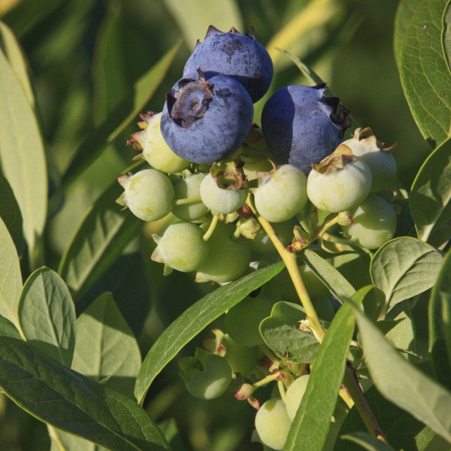 """""""Agriculture - Blueberries on the bush in various stages of ripeness / near..."""" stock image"""