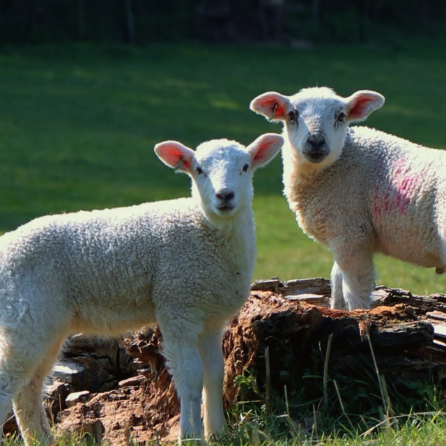 """Two Lambs on Tree Stump"" stock image"