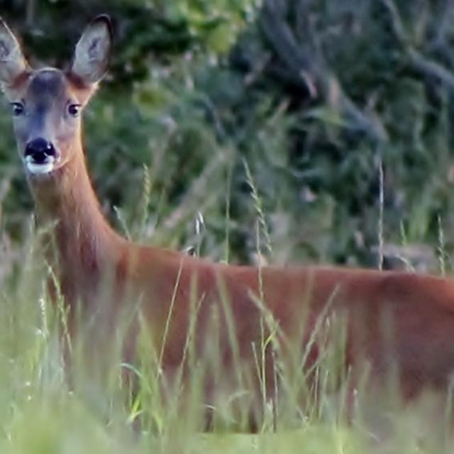 """""""Deer in Grass"""" stock image"""