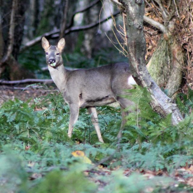 """""""Deer in Woodland"""" stock image"""