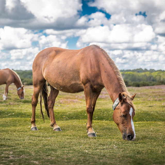 """""""A wild horse in the New Forest"""" stock image"""