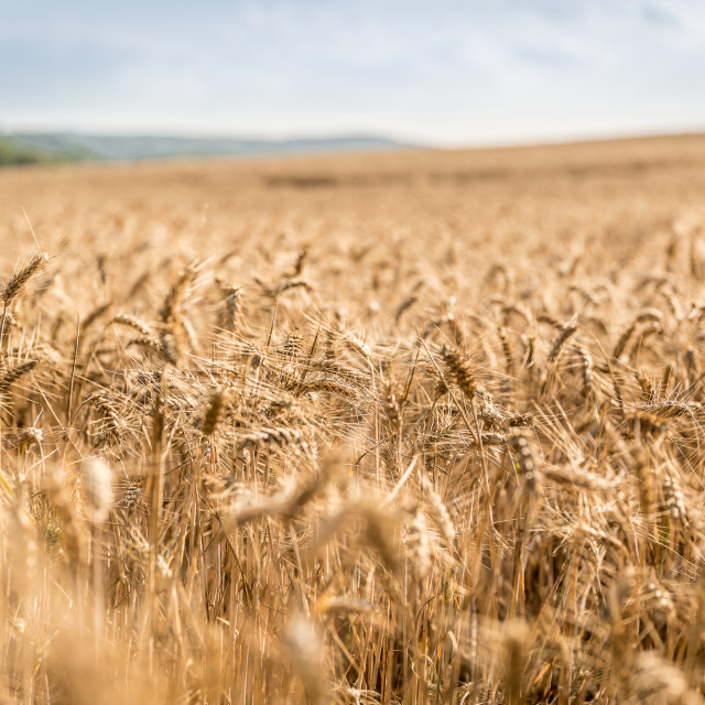 """Wheat field before harvesting"" stock image"