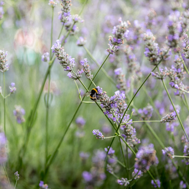 """""""A bumblebee on lavender"""" stock image"""