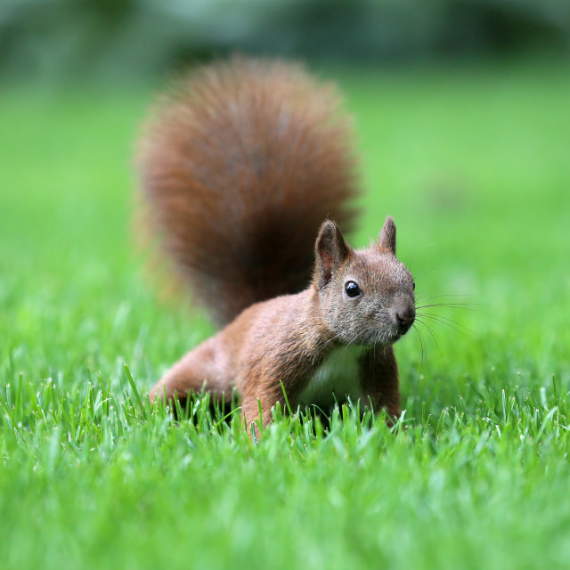 """The squirrel is a resident of city parks"" stock image"