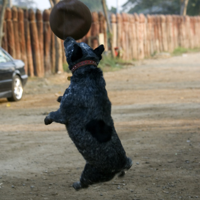 """Dog playing with ball. Thailand. January 21, 2007."" stock image"