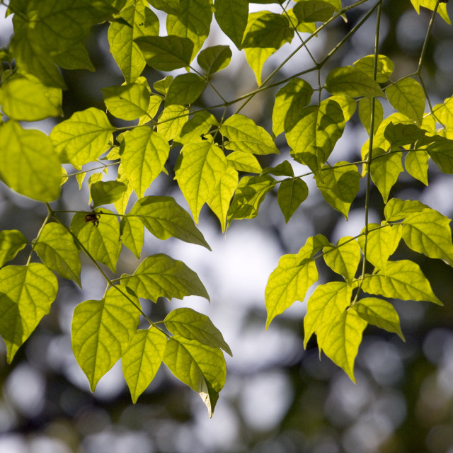 """Leaves and sunlight. Thailand, January 16, 2007."" stock image"