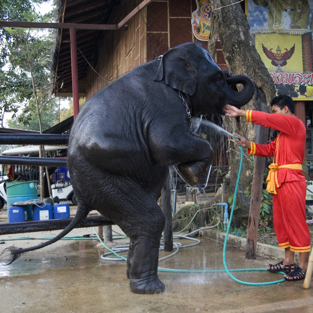 """Elephant being hosed down. Thailand. January 21, 2007."" stock image"