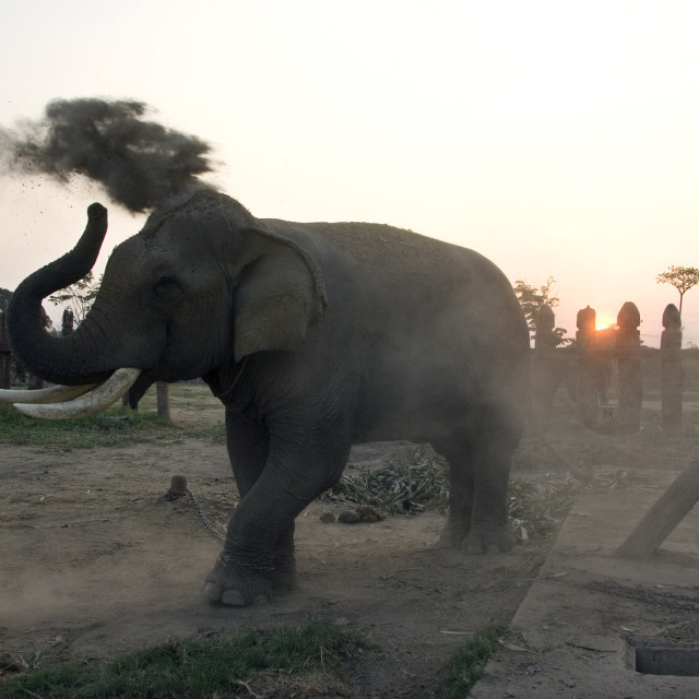 """Elephant at elephant reserve having a dust bath. Thailand. January 21, 2007."" stock image"