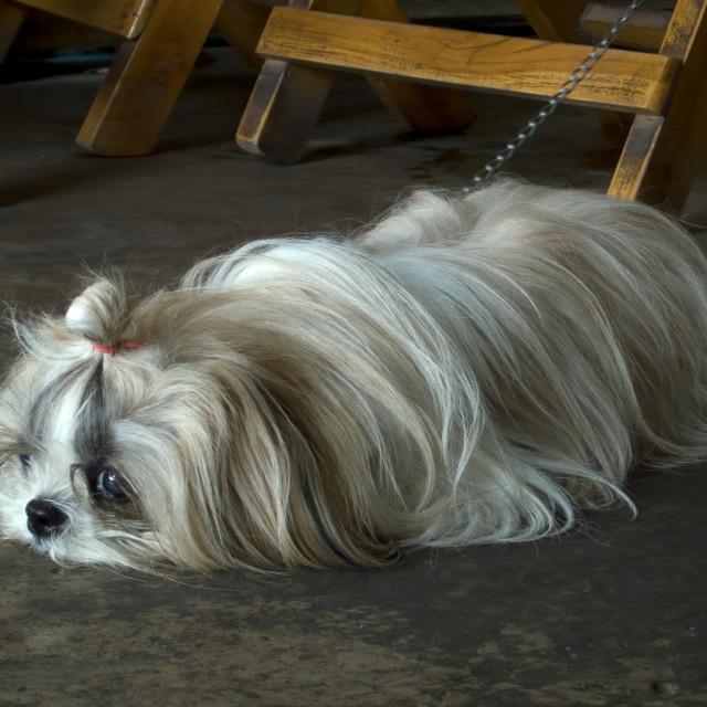 """""""Pet dog. Thailand, January 23, 2007."""" stock image"""