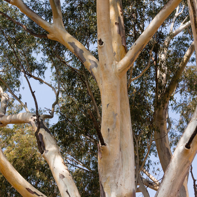 """Large Gum Tree"" stock image"