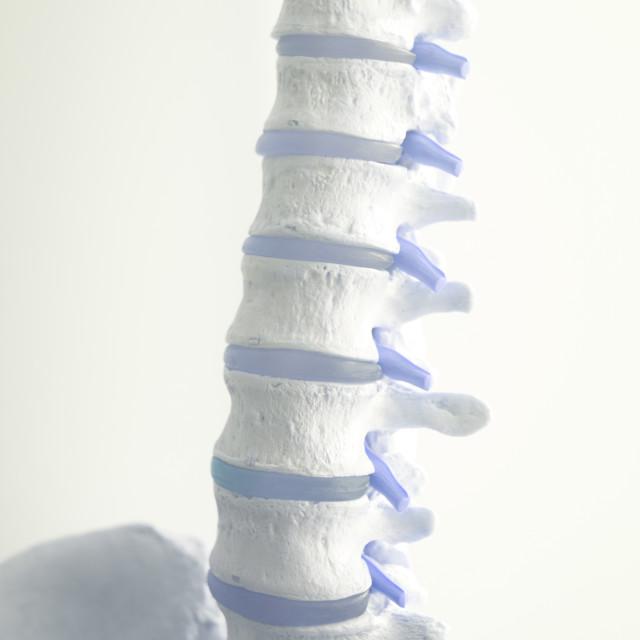 """""""Human spine column vertebra model"""" stock image"""