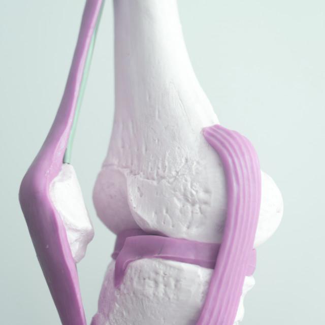 """Human knee joint meniscus model"" stock image"
