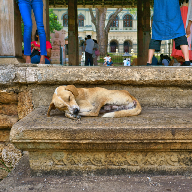 """Sleeping Dog"" stock image"