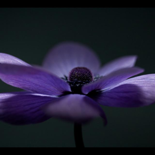 """Dark Anemone"" stock image"