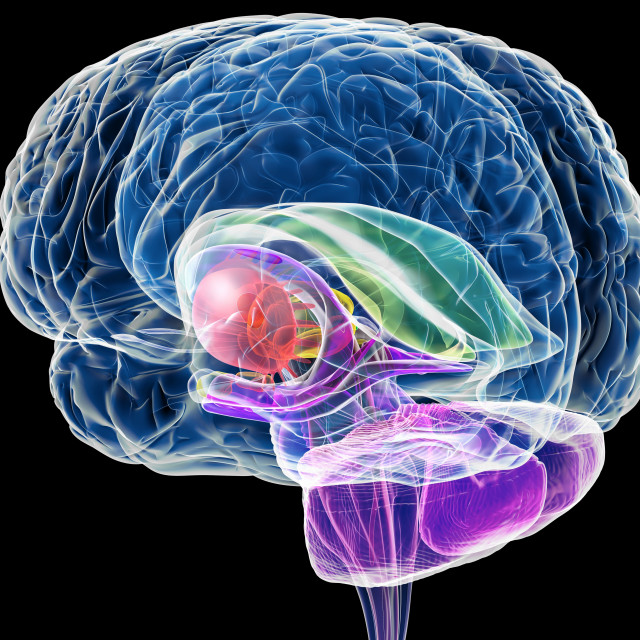"""Brain anatomy, artwork"" stock image"