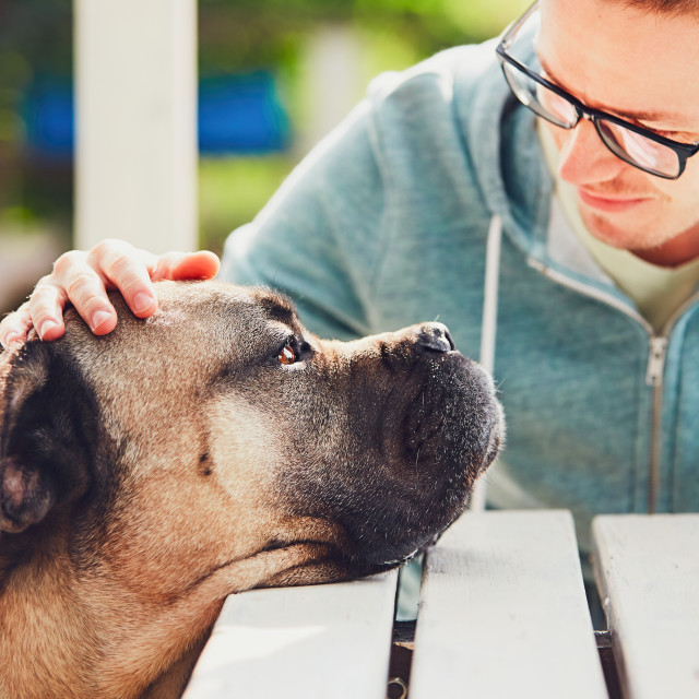 """""""Devoted look of the huge dog"""" stock image"""