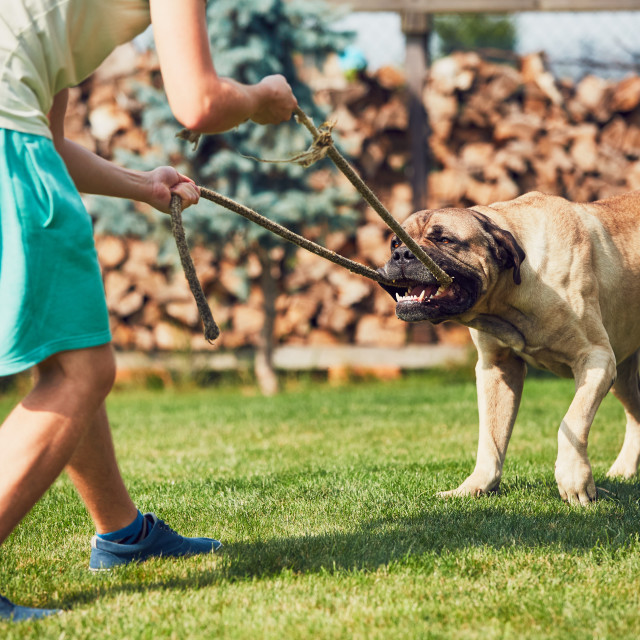 """""""Playing with the dangerous dog"""" stock image"""