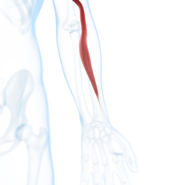 """Arm muscle, artwork"" stock image"