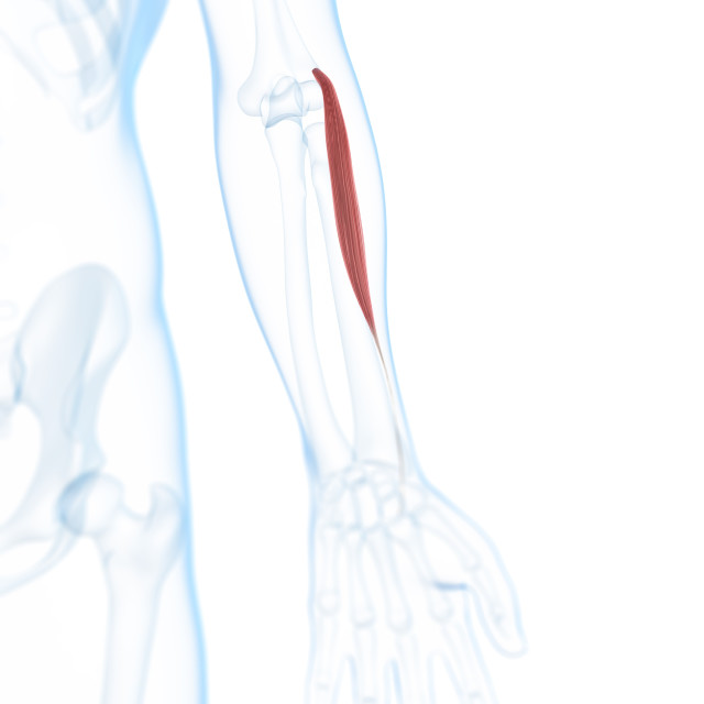 """""""Lower arm muscle, artwork"""" stock image"""