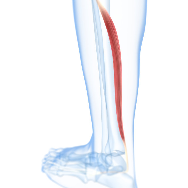 """Lower leg muscle, artwork"" stock image"