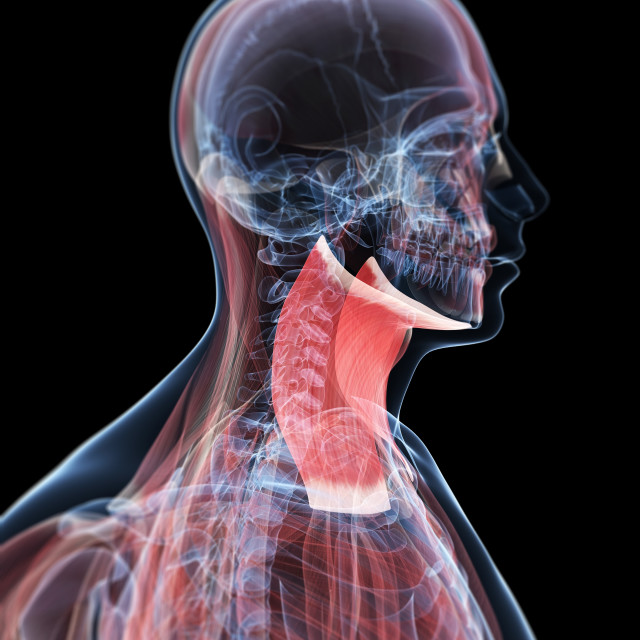 """""""Neck muscles, artwork"""" stock image"""