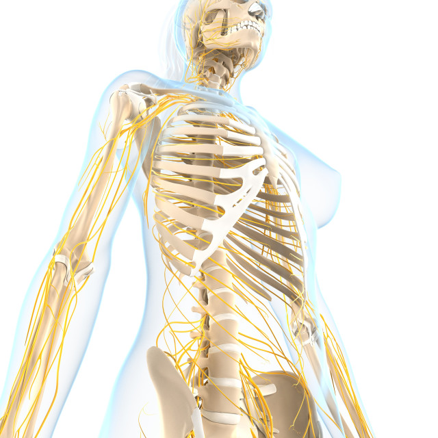 """Female nervous system, artwork"" stock image"