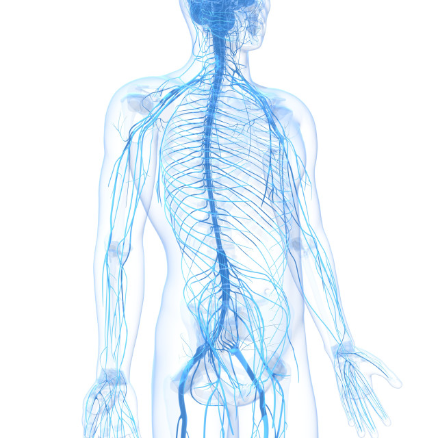 """Male nervous system, artwork"" stock image"