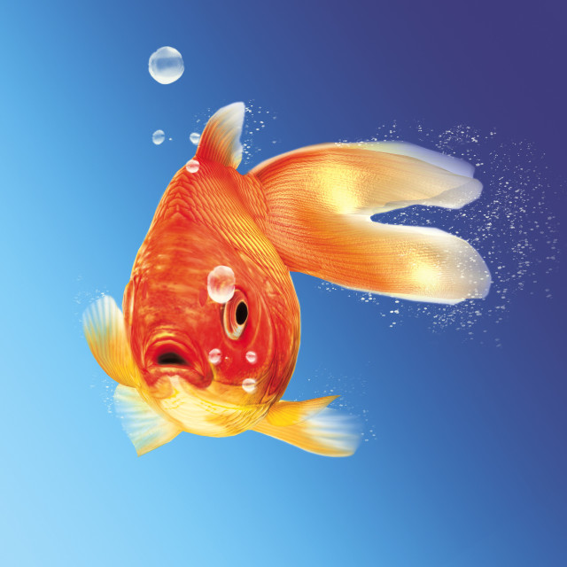 """""""Gold fish facing the viewer, with some water bubbles, on blue gradient..."""" stock image"""